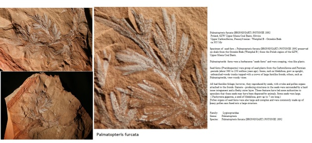Palmatopteris furcata