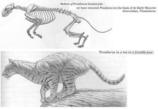 proailurus