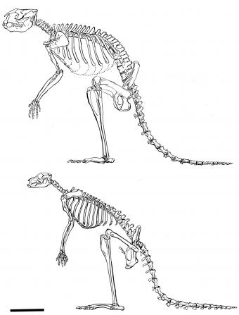 Then and nowThe extinct sthenurine, top, had larger bones, a stiffer spine, and other important differences from modern-day kangaroos. Those suggested one big difference: The sthenurines were more inclined to walk on two feet than to hop. Image: Lorraine Meeker/American Museum of Natural History Het grotere skelet van de kangoeroefamilie waartoe de prcoptodon goliah behoorde (A) en dat van de moderne kangoeroe's (B). © Plos One.