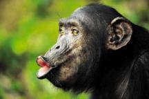 sekskreten van een vrouwtjes chimp