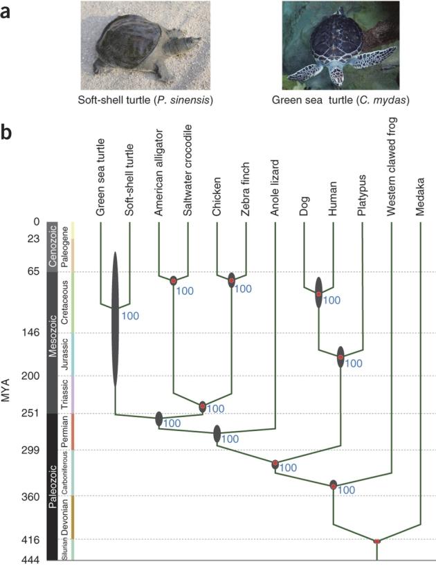 voorouderlijke  schildpad phylogeny  ng_2615-F1