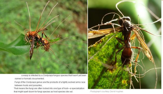 wasp cordyceps