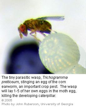 wasps-tri