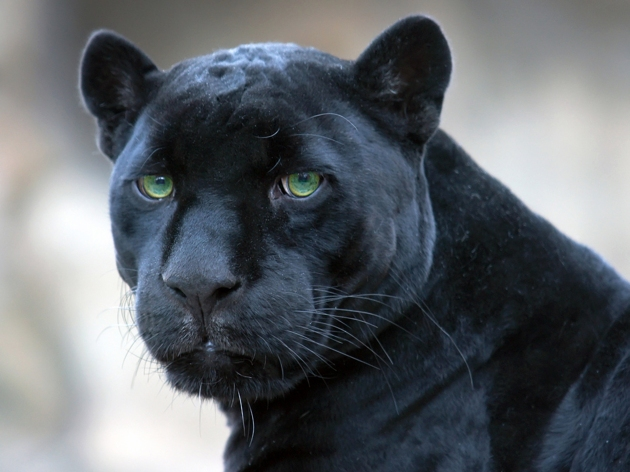 zw jaguar