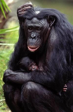 041208-chimp-vlg-3p.widec