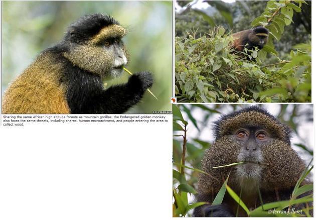 African-golden-monkey