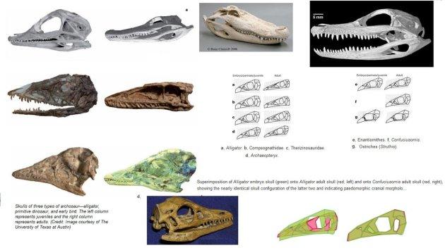 Birds-have-paedomorphic-dinosaur-skulls