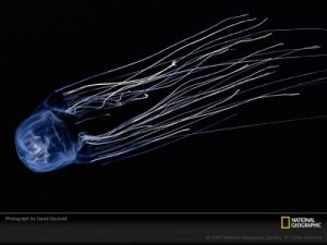 deadlyboxjellyfish