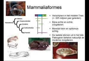 dia11mammaliaformes