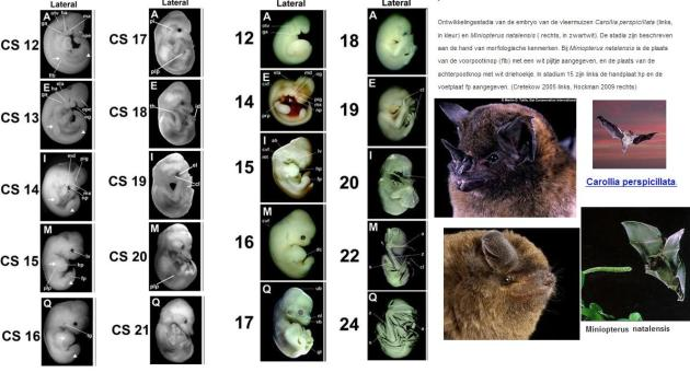 embryos-carollia-Miniopterus