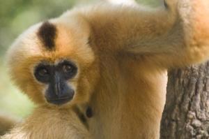 gibbon-121822c