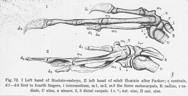 hoatzin Embryo hand