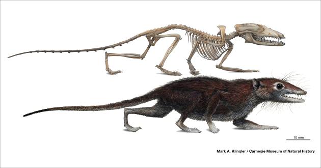 Image2(skln-fur-reco)Juramaia sinensis
