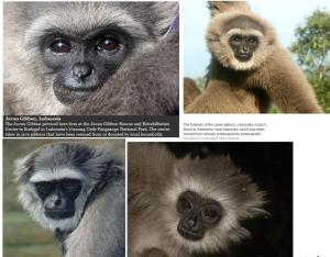 Javaanse-gibbon