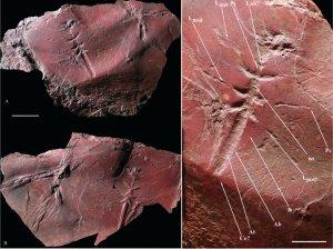 mayfly-fossil