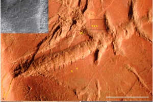 mayfly-fossil2