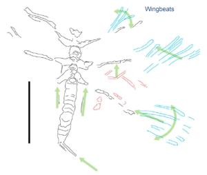 mayfly-wingbeats