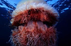nomura-jellyfish-1