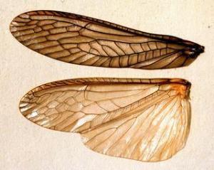Plecoptera-wingsI-JP2233