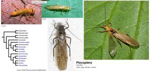 plecoptera2