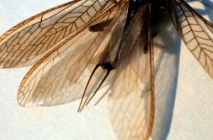 PlecopteraI-JP2235