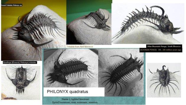 philonyx