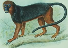 red-colobus-monkey