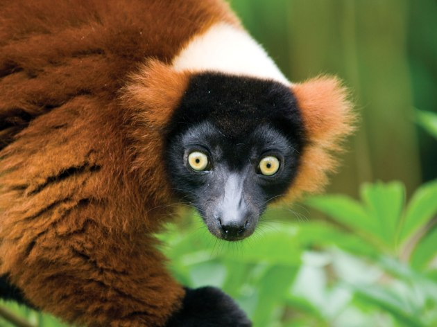 red ruffed lemur 146558-050-294F70A4