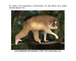 sri-lanka-loris