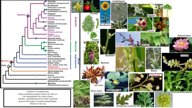 Stamboom van Angiospermae