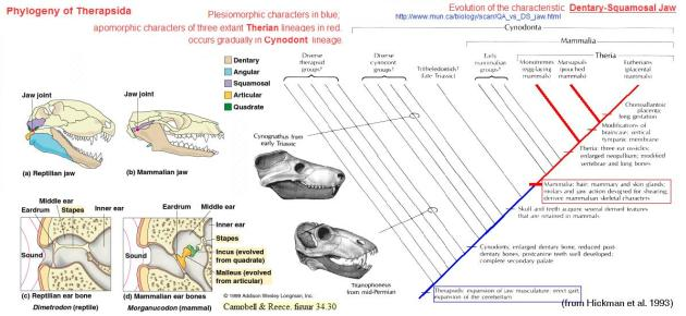 Therapsid phylogeny