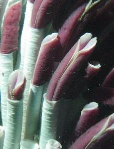tubeworm