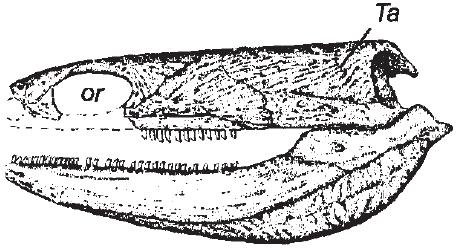 adelospondylus watsoni skull 0ae4c0d045ba