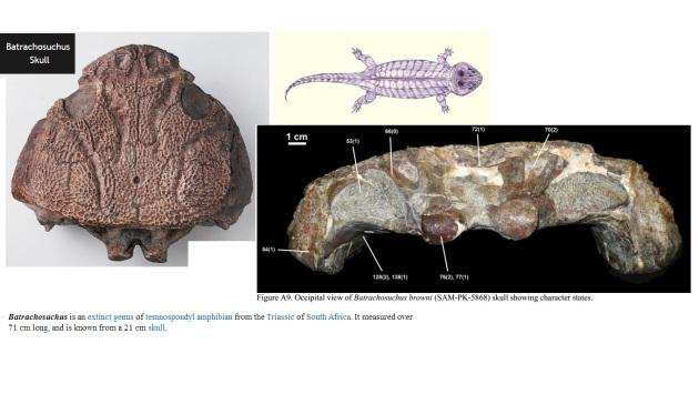 batrachosuchus skull