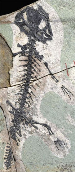 jurassic salamander fossil