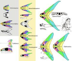 diplocerapsis16