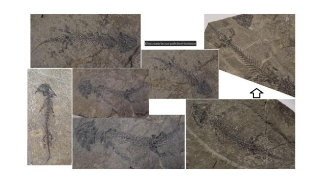 Discosauriscus-pulcherrissimus