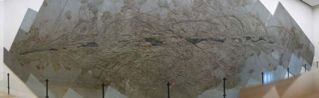 Holzmaden Seelilien