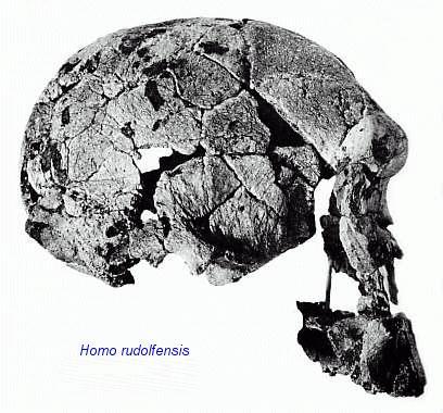 Homo rudolfensis KNM-ER 1470