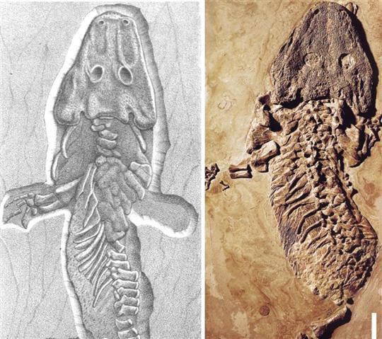 un-actinodon-(a-gauche)-decouvert-au-chemin-de-muse-et-un-onchiodon-(a-droite)-photo-dr