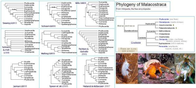 phylogeny malacostra