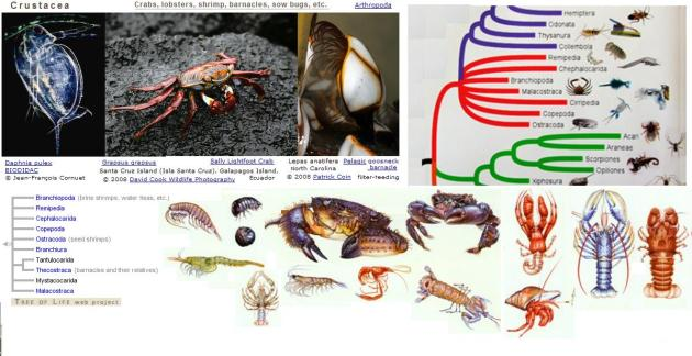 tree of life crustaceans