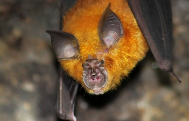 Chinese_horseshoe_bat-990x634