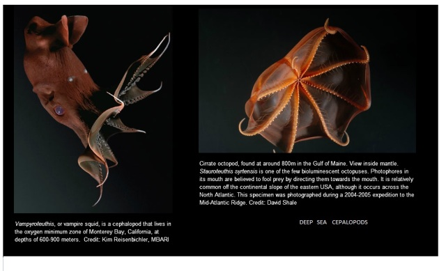 deep sea cepalopods