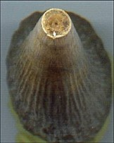 Ima1 labyrinthodont