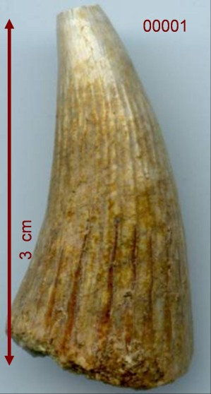Metoposaurus tand