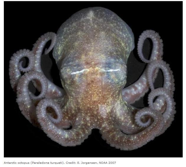 Zuidpool octopus