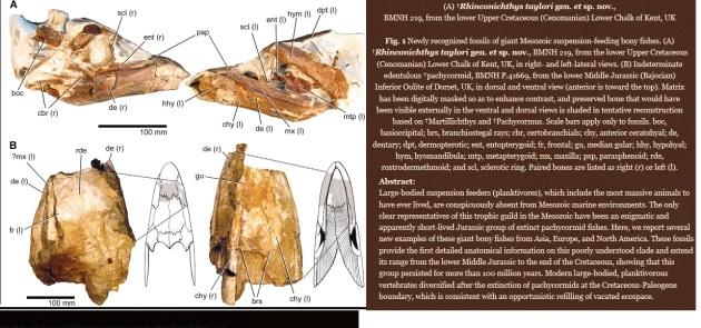 Rhinconichthys taylori  2010