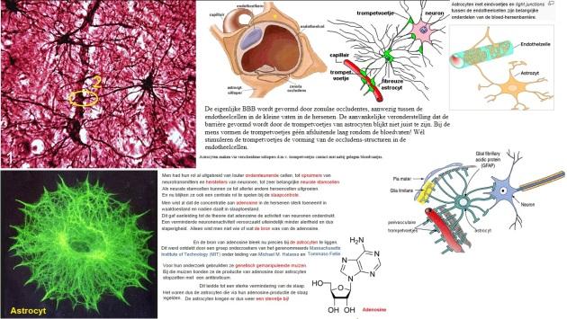 astrocyt