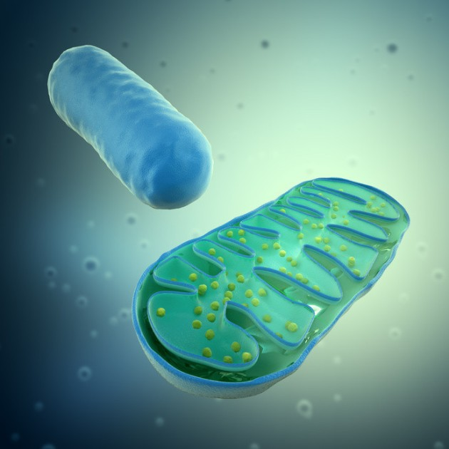 Artist's 3-D rendering of mitochondria , stock illustration.